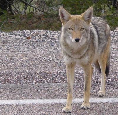 coyote wikimedia commons